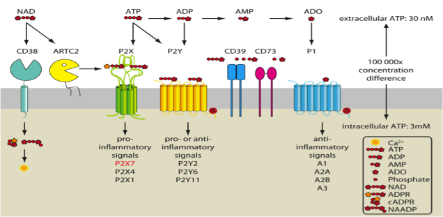 On immune cells an important effect is the gating of the P2X7 ion channel, eliciting largely pro-inflammatory signals. The ectoenzymes CD39 and CD73 degrade ATP to ADP, AMP, and finally to adenosine, which transmits mainly anti-inflammatory signals by acting on the A2A or A2B P1 receptors. NAD is used by CD38 to generate calcium-mobilizing second messengers cyclic ADP-ribose (cADPR) and nicotinic acid adenine dinucleotide phosphate (NAADP). On mouse T lymphocytes carrying ARTC2, NAD provides an alternative pathway for the activation of P2X7 via ADP-ribosylation.