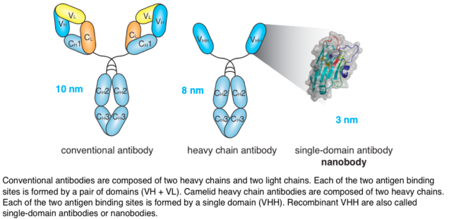 Llama singel domain antibodies can extend into and block molecular crevices