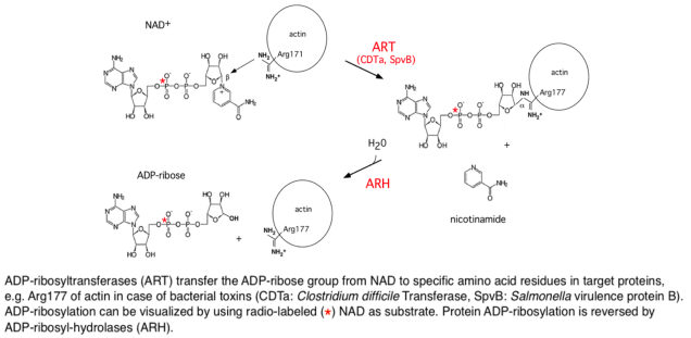 Fig. 5. ADP-ribosylation is a reversible posttranslational modification regulating protein functions.