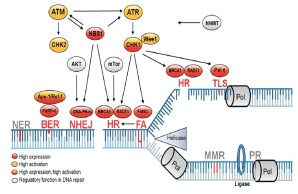 Fig. 2: DNA Repair pathways altered in tumor stem cells are associated with DNA replication.
