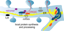 local protein synthesis and processing in dendrites